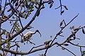 Black headed Ibis in branches.jpg