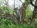 Black mulberry tree in spring.JPG