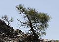 Black pine - Pinus nigra 02.jpg