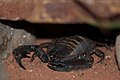 Black scorpion (5838554554).jpg