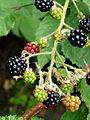 Blackberries Brombeeren (1).JPG