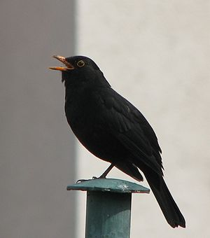 Male blackbird, singing