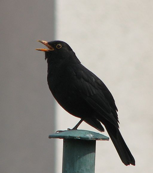 Blackbird, singing