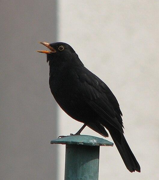 File:Blackbird, singing.JPG
