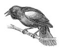 Blackbird (PSF).png