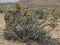 Blackbrush, Coleogyne ramosissima (31321541030).jpg