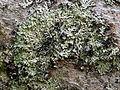 Blattflechte Menegazzia terebrata OhWeh-002.jpg