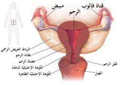 يُبين الرسم المواقع التي يُصيبها مرض التهاب الحوض في العادة