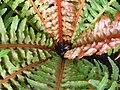 Blechnum moorei in Jardin des plantes Paris 3.jpg