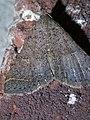 Bleptina caradrinalis P1290530a.jpg