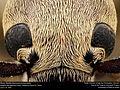 Blister Beetle (Epicauta immaculata) (23585866061).jpg