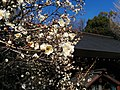 Blooming plum tree in Nogi shrine.jpg