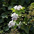 Blossom in ivy at Cliftonville Margate Kent England.jpg