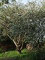 Blossom near Lew Quarry - geograph.org.uk - 430446.jpg