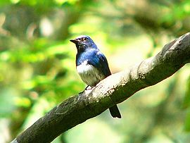 Blue-and-white Flycatcher.jpg
