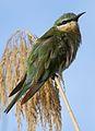 Blue-cheeked bee-eater, Merops persicus, Chobe National Park, Botswana (32334357612).jpg