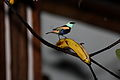 Blue-necked Tanager (Tangara cyanicollis) (4856962614).jpg
