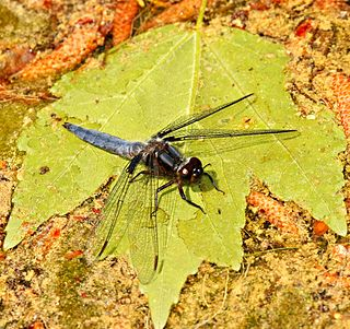 Blue corporal species of insect