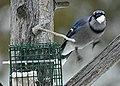 Blue Jay in winter on Drummond Island - 49390926766.jpg