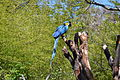 Blue Macaw at Happy Hollow Park & Zoo.JPG