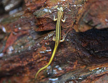 Blue Ridge Salamander.jpg
