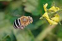 Blue banded bee02.jpg