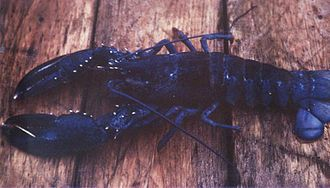 American lobster - Blue