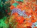 Blue spotted Klipfish at Castle Rocks DSC04053.JPG
