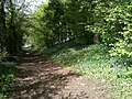 Bluebell Walk along River Nene - panoramio.jpg