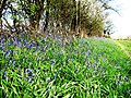 Bluebells and Hedgerow alongside a bridle path - geograph.org.uk - 765523.jpg