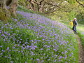 Bluebells at Ynys-hir - Andy Mabbett - 06.JPG