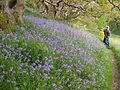 Bluebells at Ynys-hir - Andy Mabbett - 06.JPG