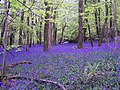Bluebells in Bigsweir Wood - geograph.org.uk - 167389.jpg