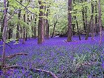 Bluebells in Bigsweir Wood - geograph.org.uk - 167389.jpg