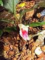 Boesenbergia tiliifolia 01.JPG