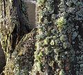Bois mort lichens 0143 zoom.jpg