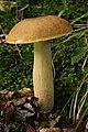 Boletus reticulatus (37304436625).jpg
