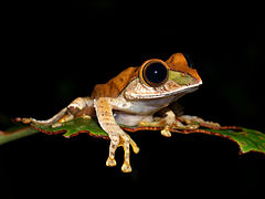Boophis sp., Vohimana reserve, Madagascar (11896552825).jpg