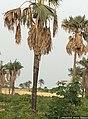 Borassus akeassii (renflement du stipe) IMG 0131.jpg