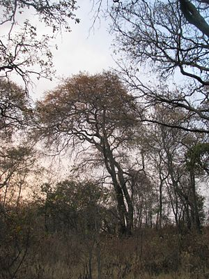 Forests of Mexico - Dry pine-oak forest during the dry season