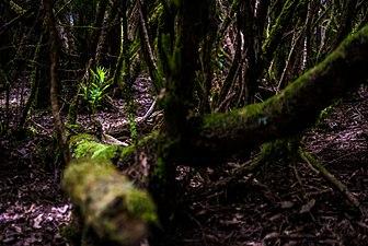Bosque de laurisilva en Anaga.jpg