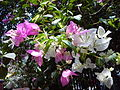 Bougainvillea in Mumbai India 5.jpg