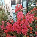 Bougainvillier bush.jpg