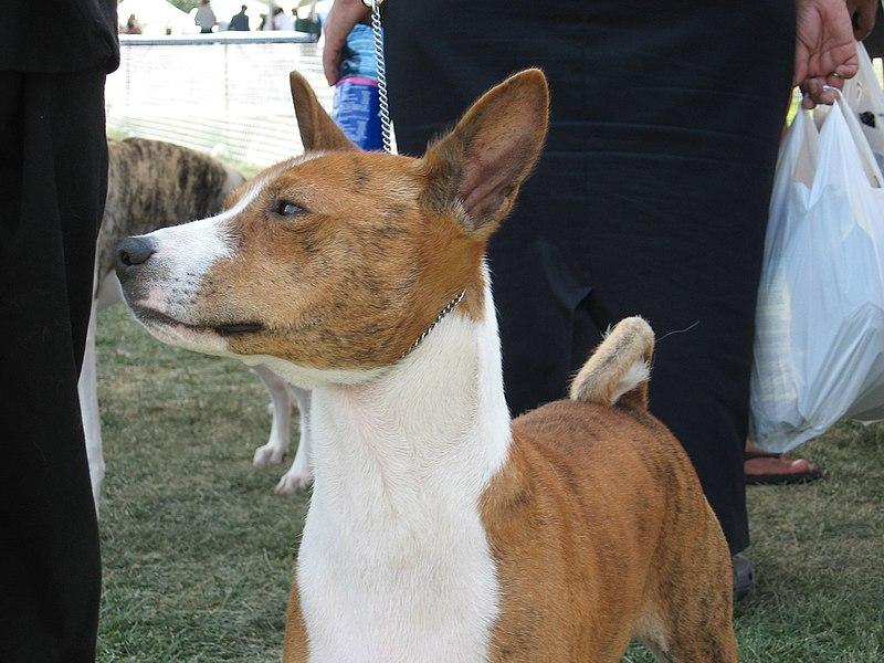 Brown Basenji dog
