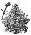 Brocoli branchu Vilmorin-Andrieux 1883.png