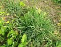 Bromus catharticus leaves (7020235605).jpg