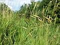 Bromus japonicus sl4.jpg