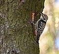 Brown-fronted Woodpecker, Dedka, Jammu & Kashmir (6891056465).jpg