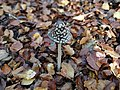 Brown mushroom in Jasmund National Park 2019-10-19.jpg