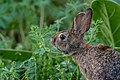Brown rabbit green foliage (Unsplash).jpg